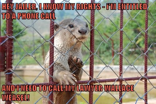 weasel jail lawyer otter arrest - 7806336256