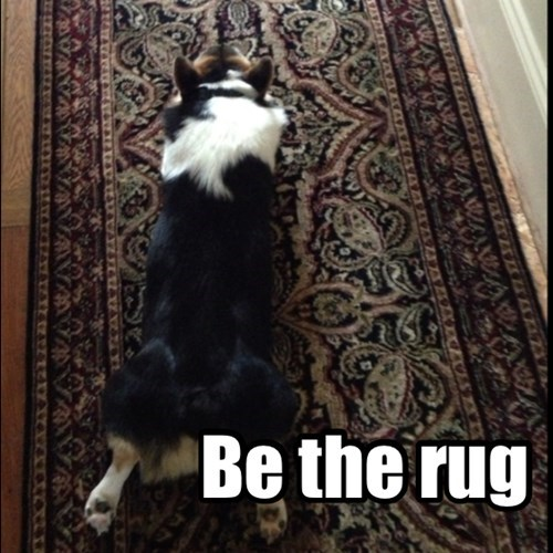 rug corgi dogs carpet
