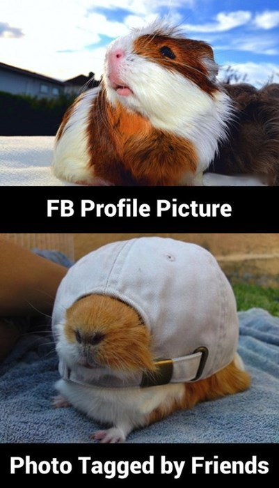 cute facebook guinea pig - 7806634240