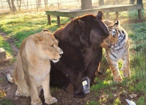 lions,best friends,tigers,bears,funny,animals