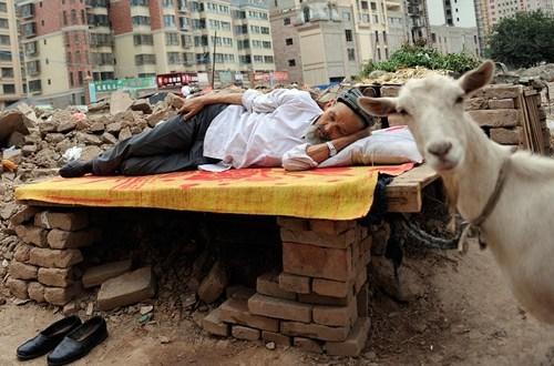photobomb goats naps funny - 7808580096