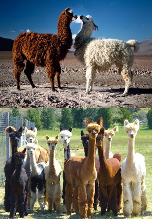 llama,alpaca,squee spree