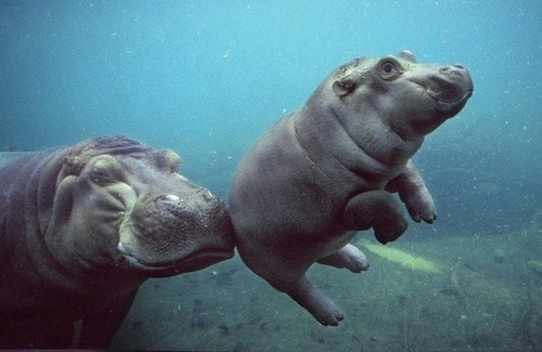 hippos mama cute - 7813181184
