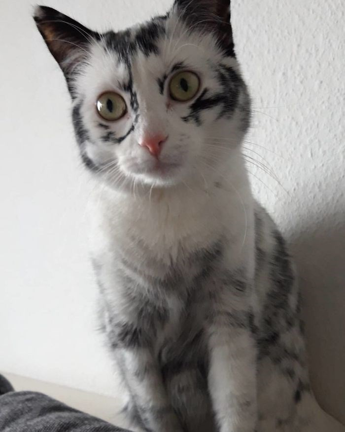 cat snowflake tuxedo vitiligo rare condition coat Cats elli beautiful - 7814661