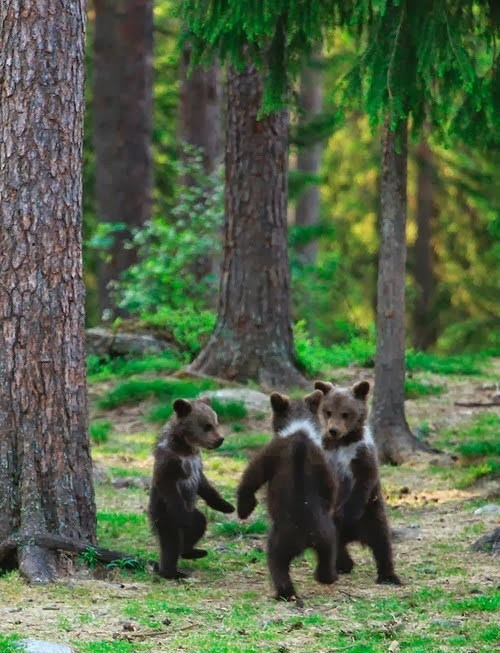 dancing Forest cute bear cubs
