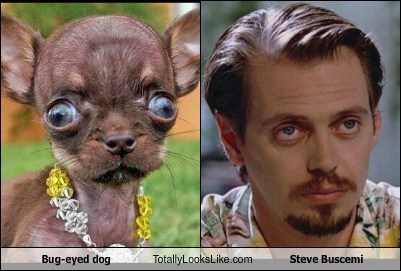 dogs,steve buscemi,totally looks like,chihuahua,funny