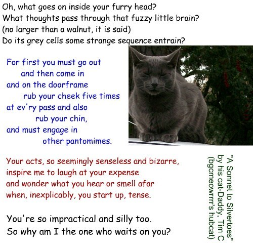 """A Sonnet to Silvertoes"" by his cat-Daddy, Tim C (bgcmeowrrrr's hubcat)"