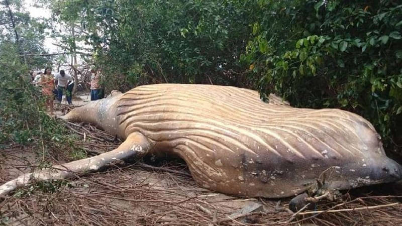 beached whale brazil amazon humpback whale beached mysterious humpback whale amazon rainforest - 7821317