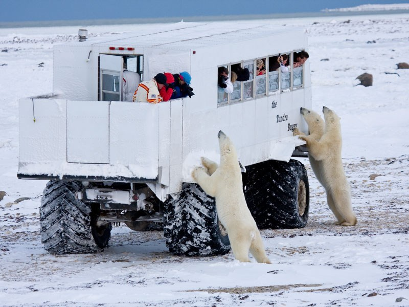 town Canada polar bear visit - 7822085