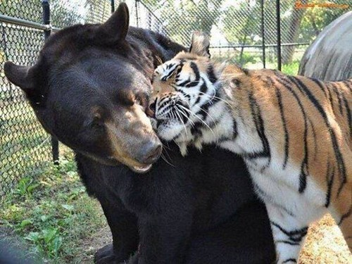Picture of a large brown bear and a tiger cuddle N' snuggle, in what appears to be a black chain-linked enclosure fence or cage.