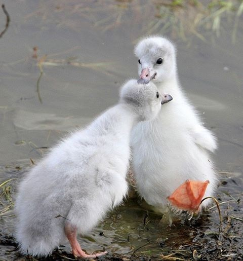 Babies cute goslings rain - 7822531840