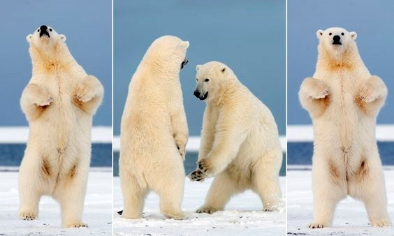 dancing show polar bear funny bears audition - 7822853