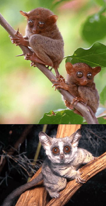tarsier,bush baby,squee spree