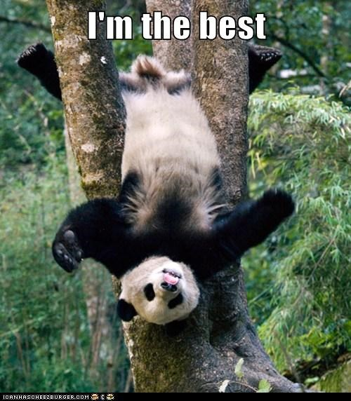 Animal capshunz panda funny animal pictures with captions panda climb hanging tree 7822927616 voltagebd Image collections