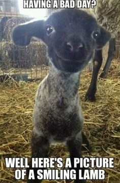 smiling cute sheep lambs - 7823022848