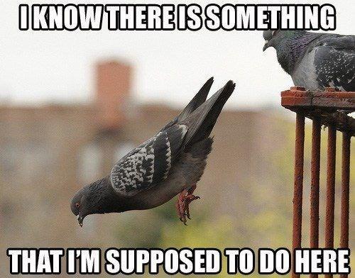 pigeon,forget,fliy