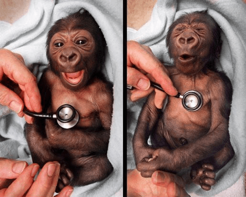 doctor,cold,cute,baby gorilla