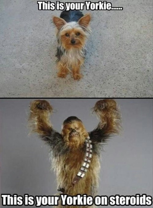 dogs treats yorkie chewbacca Chewie