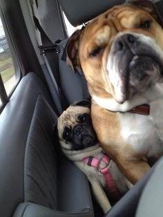 bulldogs pugs funny - 7823086848
