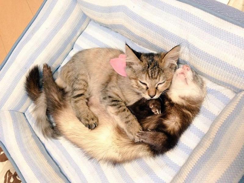 aww foster kitten ferrets kitten cute adopted family - 7823109