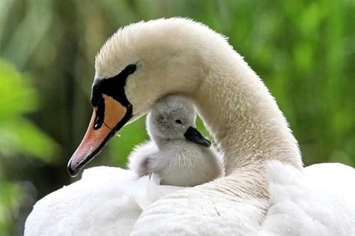 Babies,swans,beauty