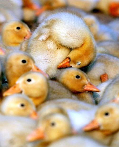 snuggle,ducklings,cute