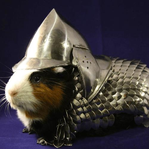 guinea pig,armor