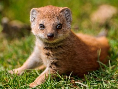 Babies mongoose cute grass - 7829473280