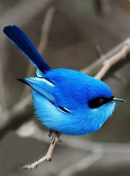 blue birds cute beauty