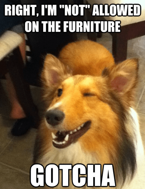 rules furniture dogs confused