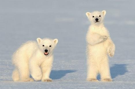 polar bears cute bear cubs walk ice - 7830658560
