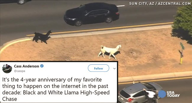 llama on the loose run funny video arizona - 7831301