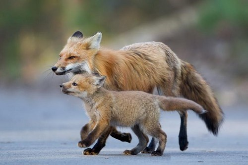 foxes,mama,cute