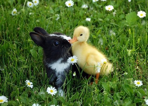 bunnies fluff ducklings squee - 7833157632