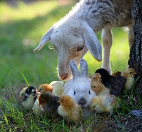 springtime bunnies chicks goats cute - 7833161216