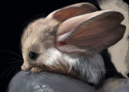 cute,big ears,long eared jerboa