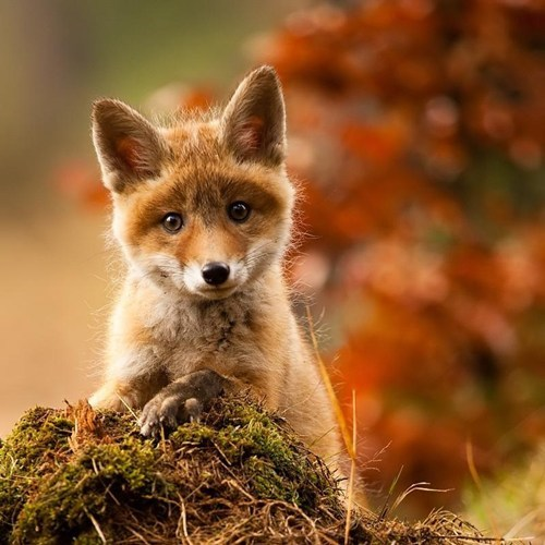 foxes,autumn,forrest,cute,fall