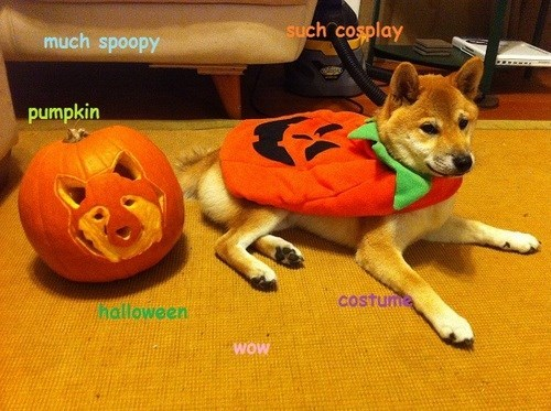 dogs pumpkins halloween costumed critters shiba Spooky FAILs and HalloWINs spoopy - 7835812096