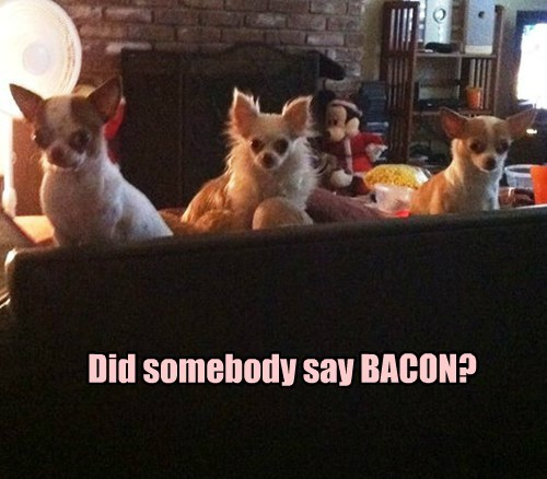 dogs,chihuahua,bacon