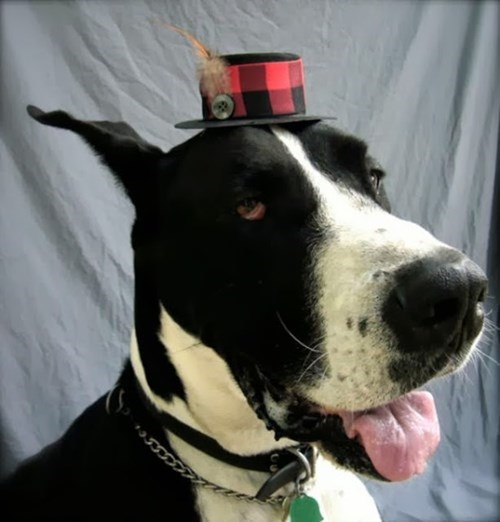 dogs fashion hat poorly dressed g rated - 7836685824