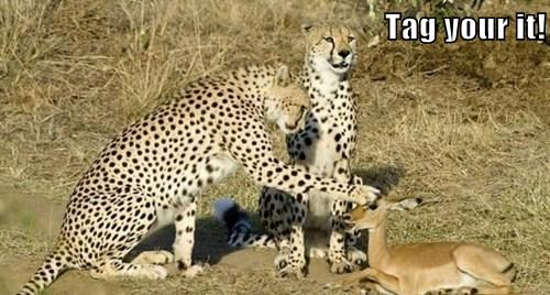 tag you're it chase cheetahs prey - 7837785856