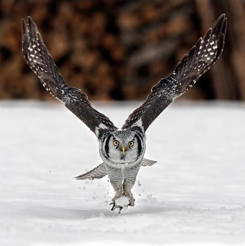 snow ball fight cute owls winter - 7843559936