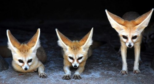 foxes long ears cute squee