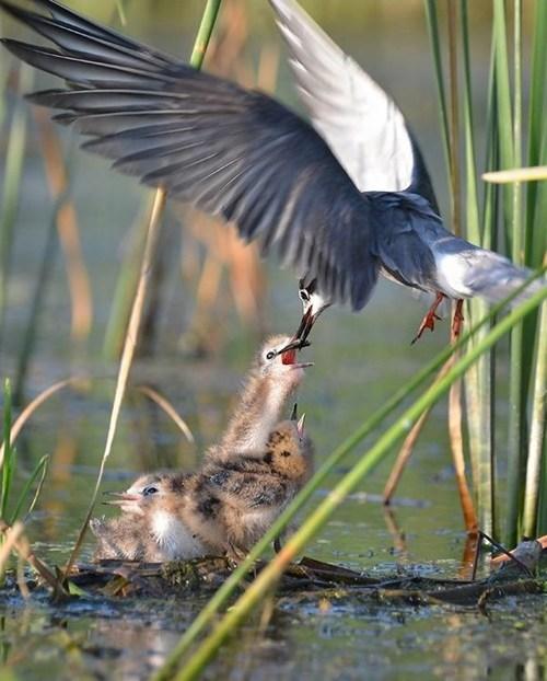 birds terns wild life beautiful - 7846293504