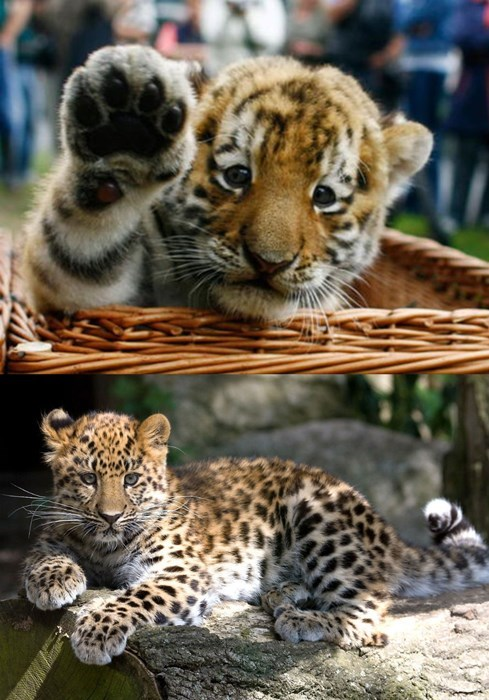 tigers,cute,cubs,squee spree,leopards