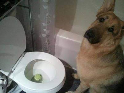 dogs,toy,help,toilet,tennis ball