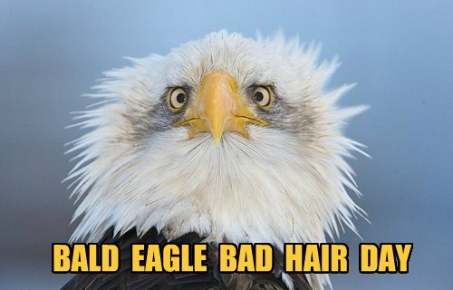 eagles,bald,bad hair day