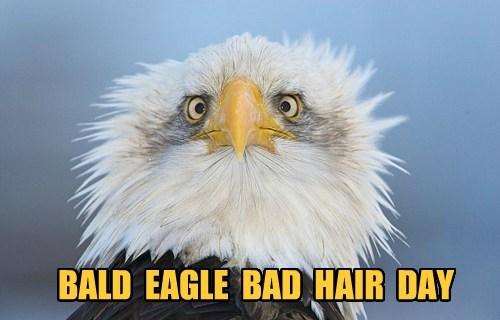 eagles bald bad hair day - 7848280576