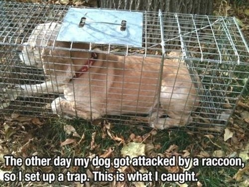dogs FAIL trap raccoon funny - 7851199488