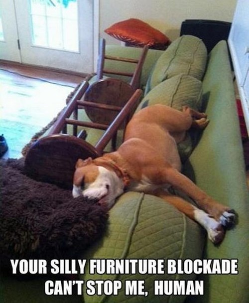 furniture blockade dogs couch silly sofa